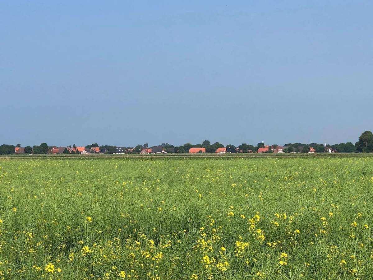 Der Blick über blühende Rapsfelder zum Ferienhaus Roese