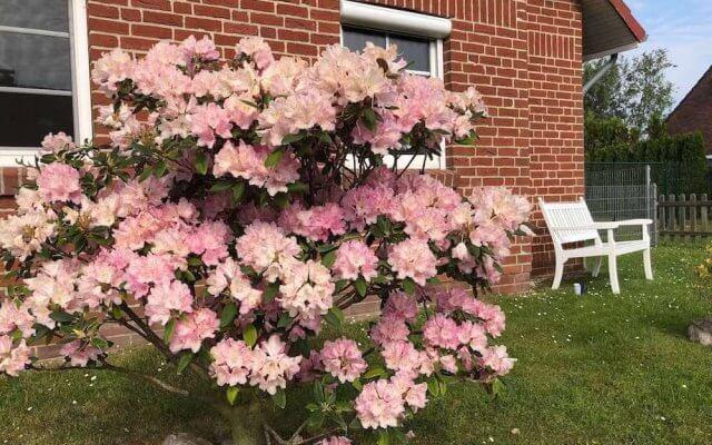 Rhododendron vor Haus