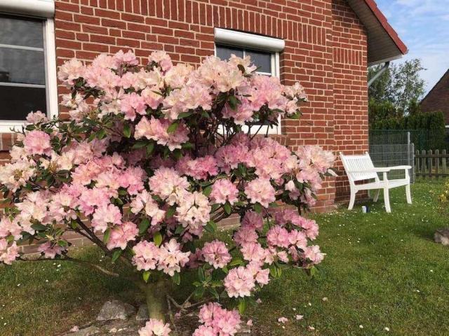 Blühender Rhododendron Busch vor dem Ferienhaus