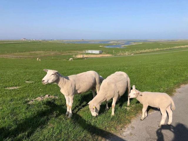 Schafe auf dem Deich von Neßmersiel mit Meer im Hintergrund